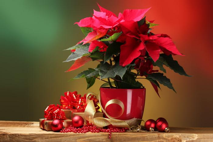 Vánoční hvězda je jedním ze symbolů adventu a Vánoc.
