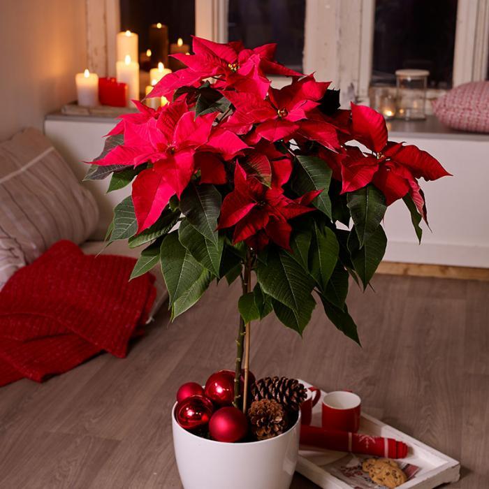 Vánoční hvězda je přírodní symbol Vánoc.
