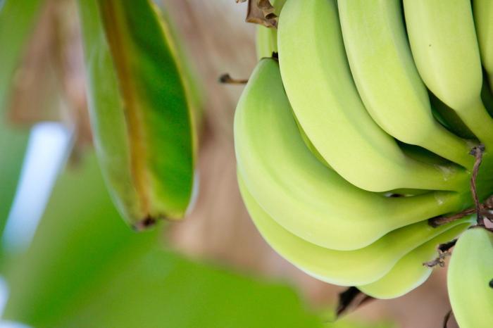 Trsy banánů nepocházejí ze stromu. Ne, ne, ne.