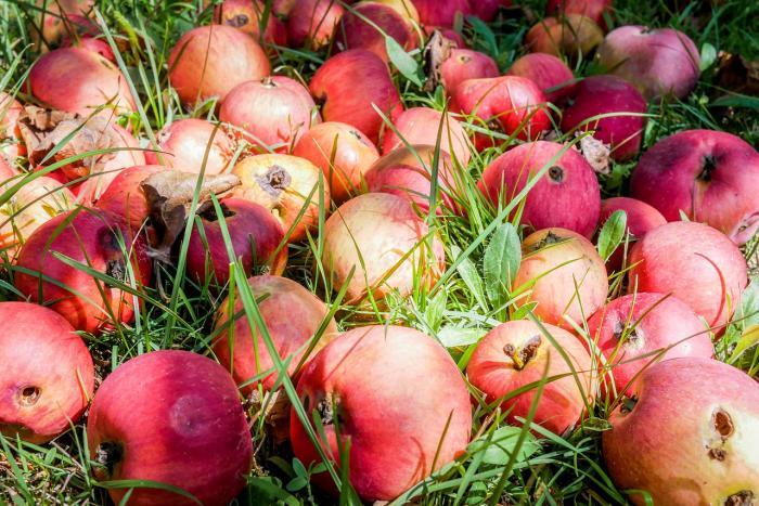 Ovoce octomilky vyloženě láká.